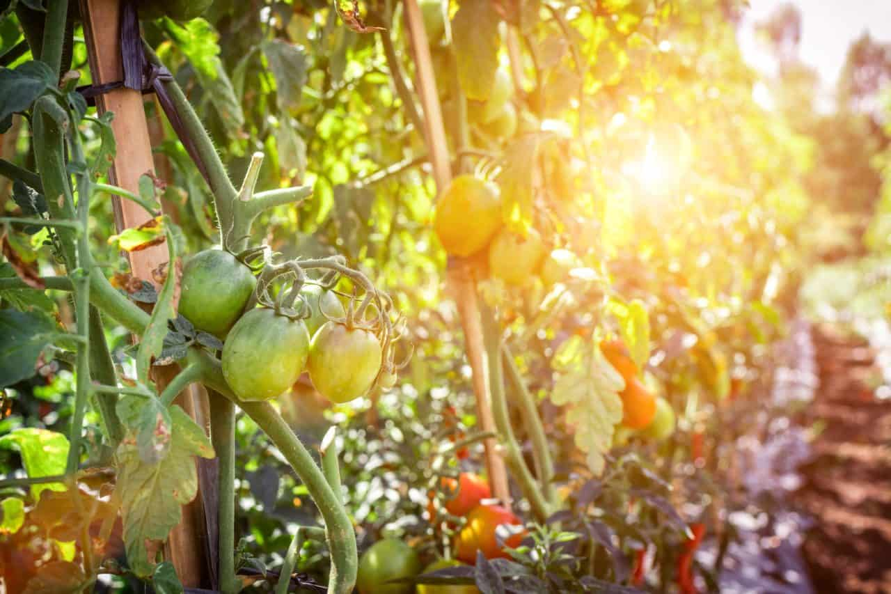 Everything You Need To Build A Tomato Garden